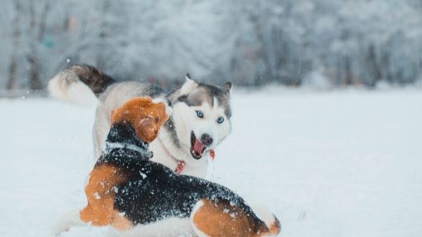Are Beagles Territorial?