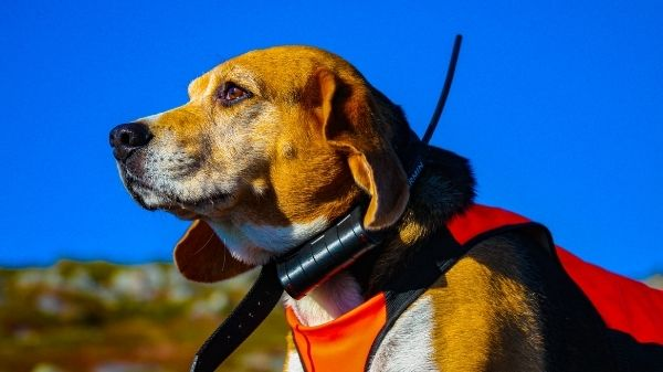 What Do Beagles Hunt?