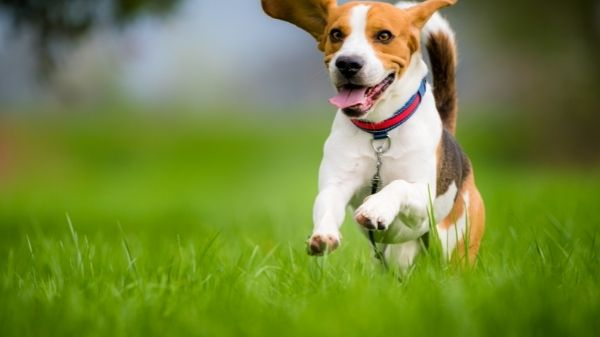 Are Beagles Outside Dogs?