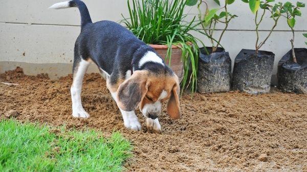 Do beagles dig?
