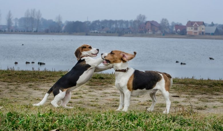 Are Beagles Good With Other Dogs?