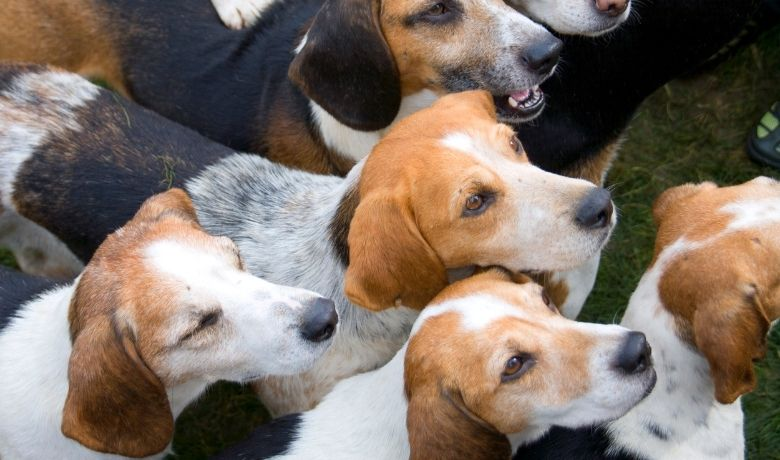 Beagle Colors and Patterns
