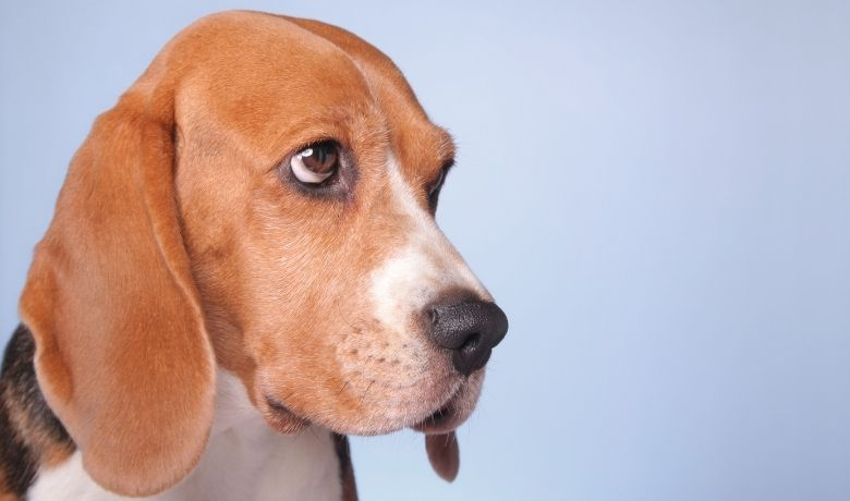 Do Beagles Fart?