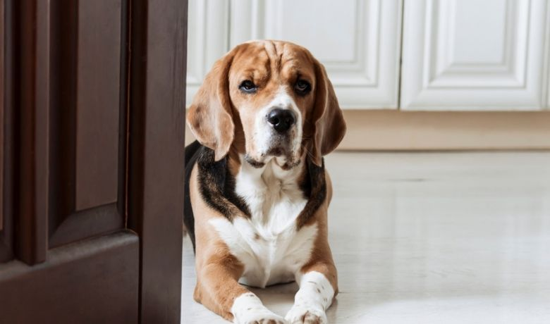 Do Beagles Have Separation Anxiety?