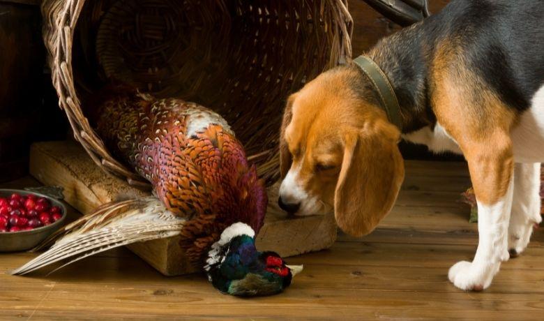 Do Beagles Kill Birds?