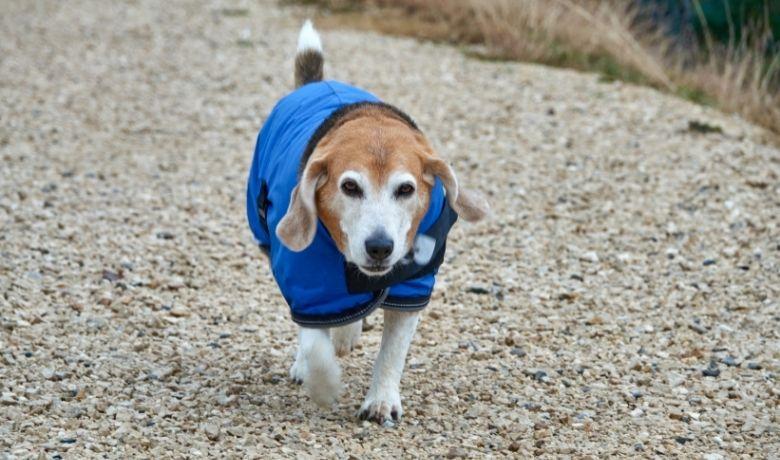 Do Beagles Need Coats In Winter?