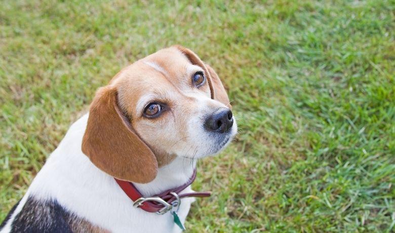 Do Beagles Talk Back?