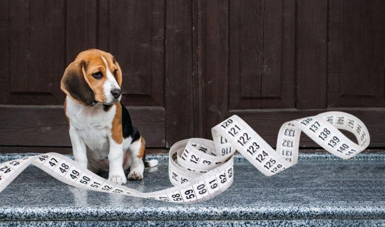 How Big Do Beagles Get?