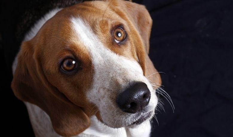 How Long Do Beagles Live?