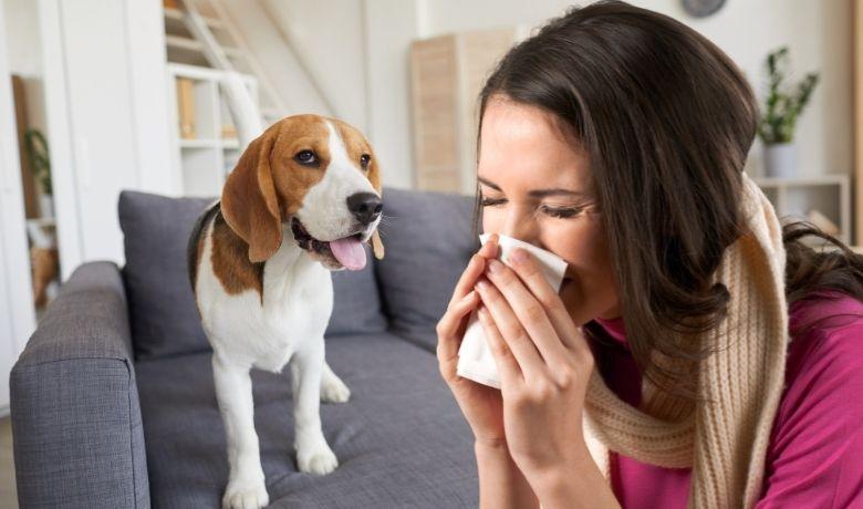 Are Beagles Hypoallergenic?