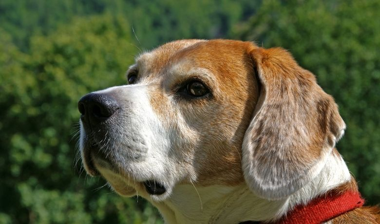 Are Beagles Protective?