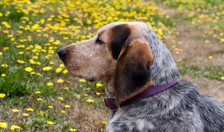 Blue-Tick Beagle – Personality, Lifespan, Price