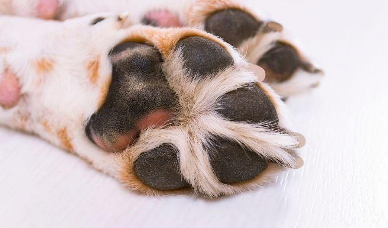 Do Beagles Have Webbed Feet?