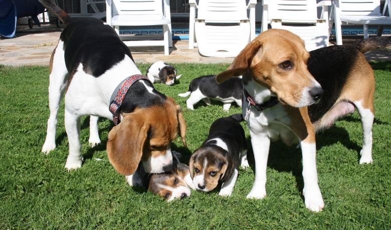 How Long Are Beagles Pregnant?